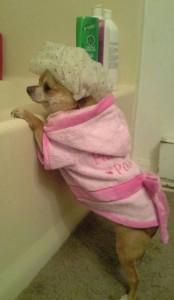 Chihuahua Bathtime