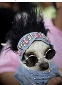 Chihuahua in Drag