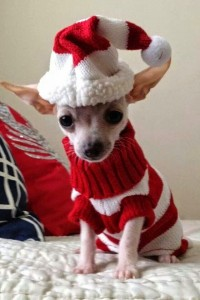 Santa Chihuahua is coming soon.