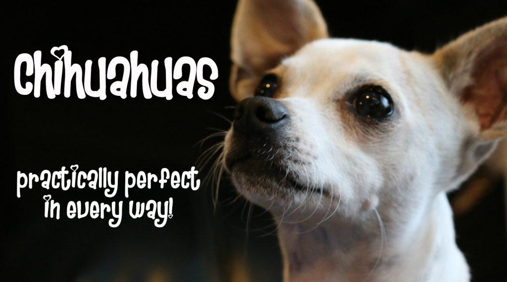 Chihuahua Perfection
