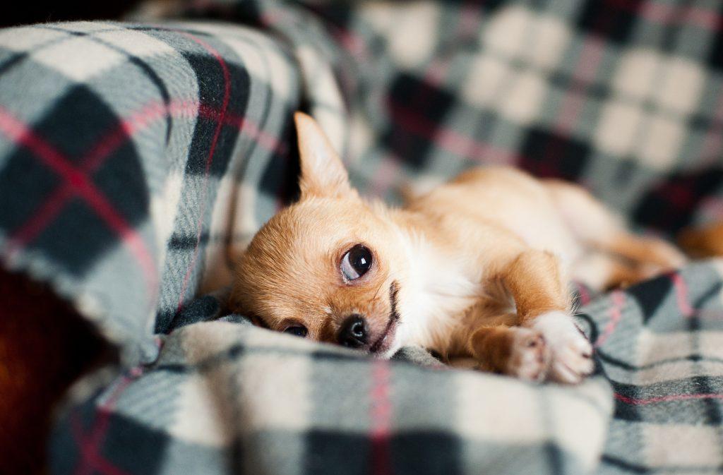 Resting Chihuahua
